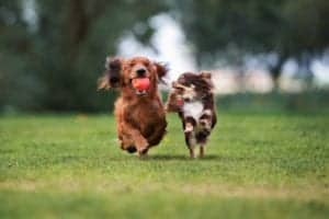 two small dogs playing a park